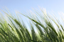 green wheat and windy weather by Tobias Pfau