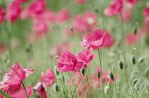 Mohnblüten Welt von Tanja Riedel