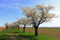 Kirschblütenzeit by Wolfgang Dufner