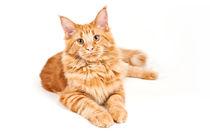 Maine Coon Cat von holka