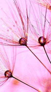 Pink Dandelion von Julia Delgado