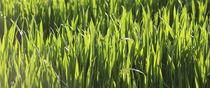 Gras by © Ivonne Wentzler