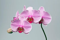 Pink Orchid 2 by Engin Sezer