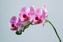 Pink Orchid 1 by Engin Sezer