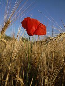 Mohn im Getreide von Julia Delgado
