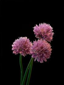 'Allium' by Klas-Göran Tinbäck