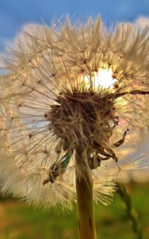 Dandelion in the afternoon  by Julia Delgado