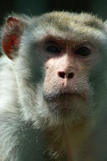 Rhesusaffe/rhesus monkey von Ulrike Linn