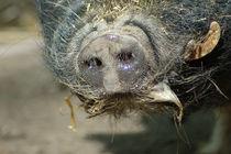 Göttinger Minischwein/pig portrait von Ulrike Linn
