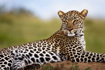 Leopard on termite hill von Maggy Meyer