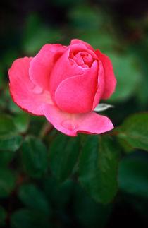 Rosa-vtxt-92