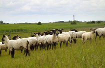 Schafe am Deich - Sheep on dike von ropo13