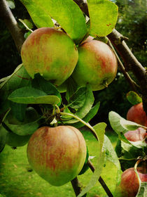 Apple Tree by Sarah Couzens