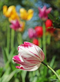 tulip by fhll