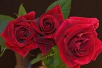 Sensous Passionate Red Velvet Rose von JET Adamson