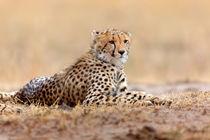 Mara-cheetah-1cub-talek-bunt2012