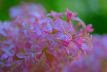 Lilac-dsc00838