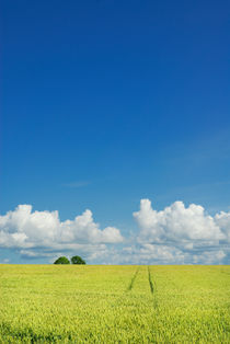 Wheat field and blue sky by Lars Hallstrom