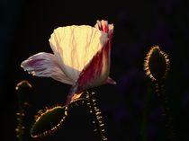 rosa Mohn im Sonnenlicht von Christine  Hofmann
