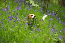 Bluebell-penny