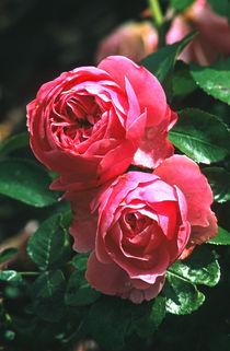 rosa (rosen) von helmut krauß