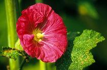 alcea rosea (syn. althaea rosea) - stockrose, eibisch von helmut krauß