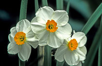 000266hkr-narcissus-h