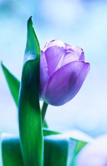 tulipa (tulpe) by helmut krauß