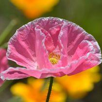 Pink Poppy von Patricia N