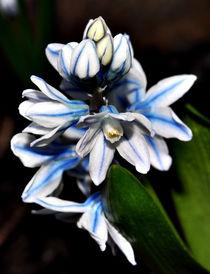 Beautiful blue and white flower von Daniel Fong
