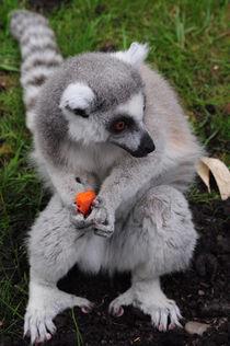 Ring Tailed Lemur by Daniel Fong