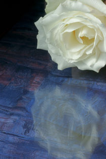 Love's Reflection ~ White Rose by JET Adamson