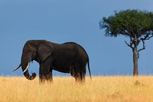 Mara-elephant-bunt-2012