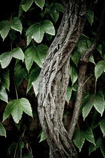 Ivy by Lars Hallstrom
