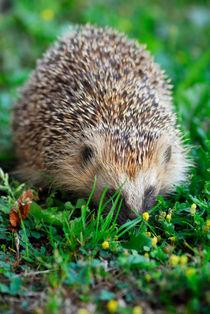 Hedgehog von Lars Hallstrom