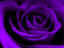 Purple Rose von Amanda Finan