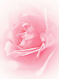 Portrait Of A Rose by Amanda Finan