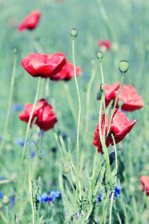Poppies von Falko Follert