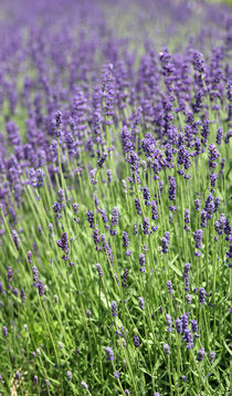 Lavendel by Franziska Giga Maria