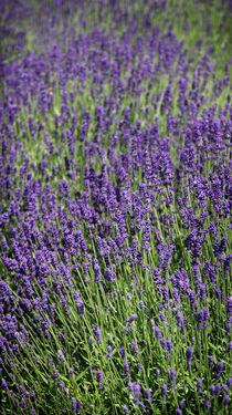 Lavendel von Franziska Giga Maria