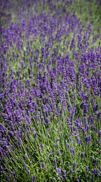 Lavendel-4