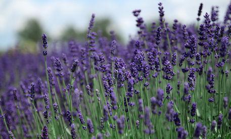 Lavendel-5