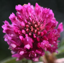 Rot Klee - Red Clover by ropo13