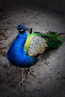 Curios Peacock by schafferart