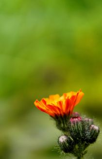 just a flower von schafferart