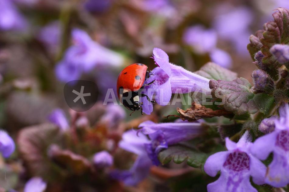 marienk fer ladybird fotografie als poster und. Black Bedroom Furniture Sets. Home Design Ideas