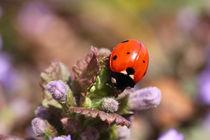 Marienkäfer - Ladybird by ropo13