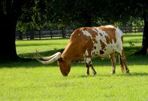 Longhorn Attitude von Warren Thompson