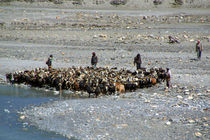Goats-at-river-en-route-to-ghasa