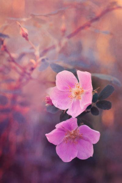 Wildroses